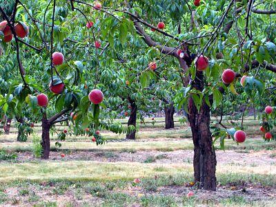 43++ Peach farm near me information