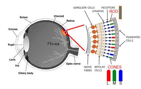 Understanding Colour Blindness Eye Anatomy Photos Of Eyes Color