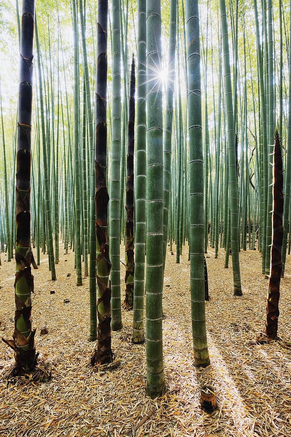 bamboo forest photography landscapes pinterest. Black Bedroom Furniture Sets. Home Design Ideas