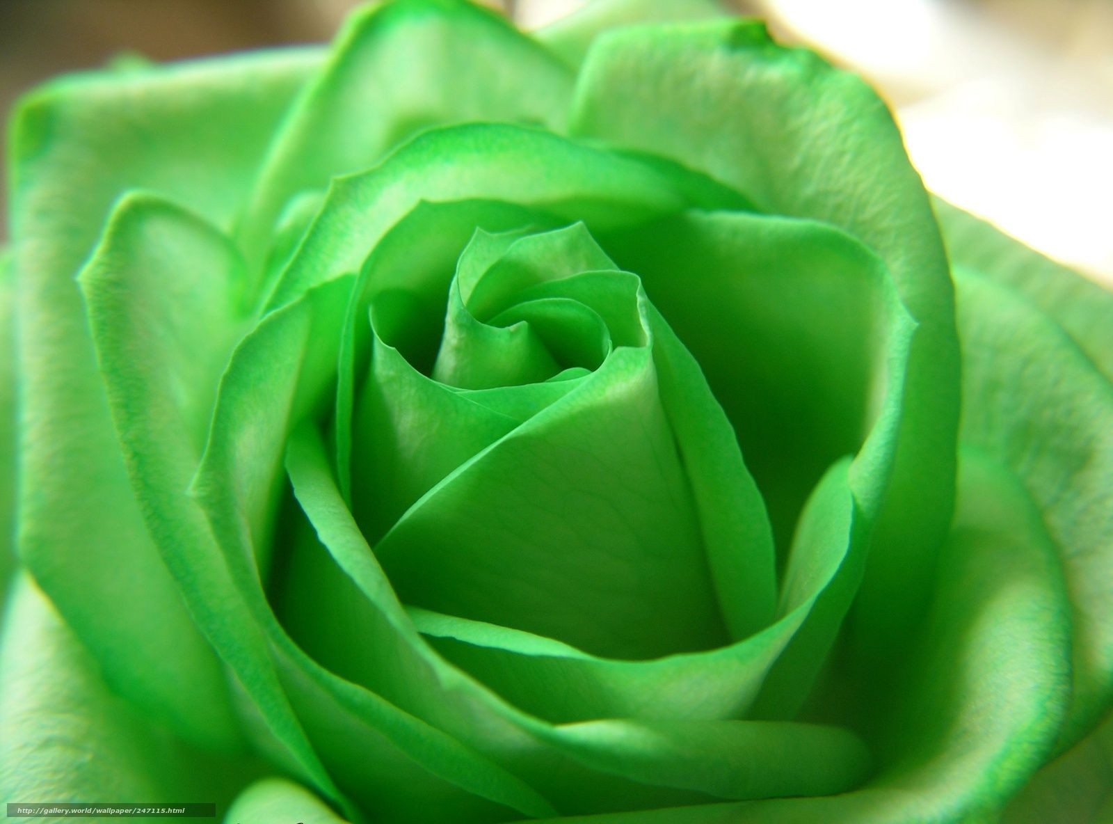 The Meaning and Top 19 Beautiful Green Roses | Green rose, Green ...