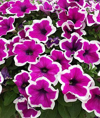 Petunia Sanguna Picotee Punch Petunias At Burpee Com Petunias Flowers Beautiful Flowers
