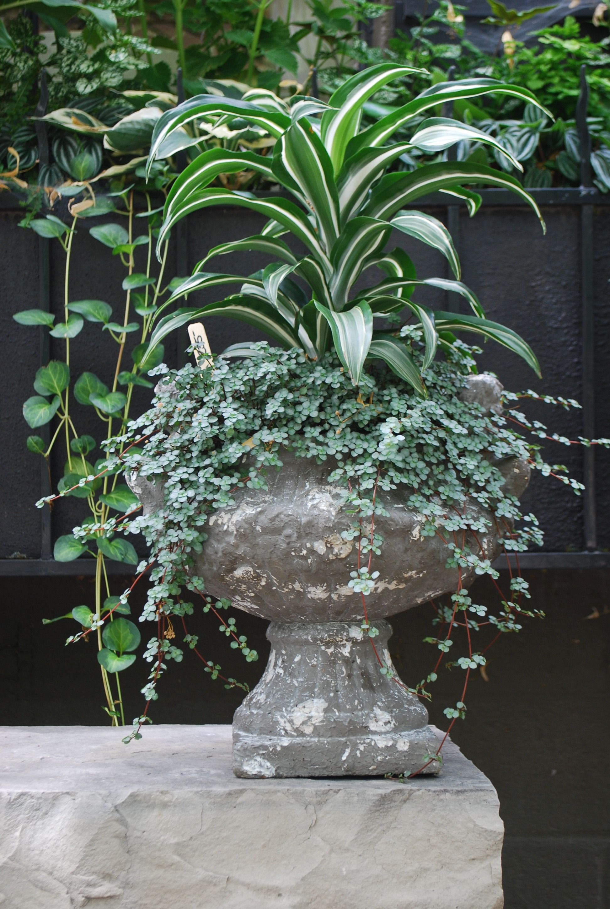Variegated Dracaena And Silver Pilea Garden Containers