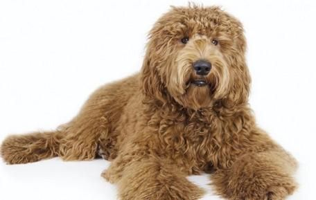 Labradoodle Medium Dogs That Dont Shed No Shed Dog Breeds Non Shedding Dogs Labradoodle