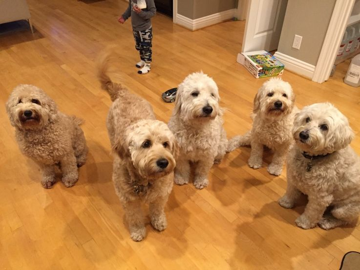 Golden Retriever Goldendoodle And Mini Goldendoodle Puppies For Sale In South Carolina Usa Goldendoodle Puppy For Sale Doodle Dog Mini Goldendoodle Puppies