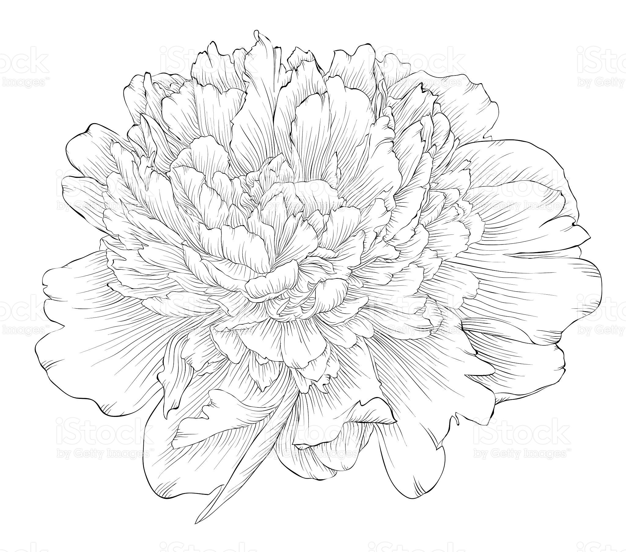 beautiful monochrome black and white peony flower isolated on white 牡丹の 絵 シルクペインティング 描画のためのアイデア