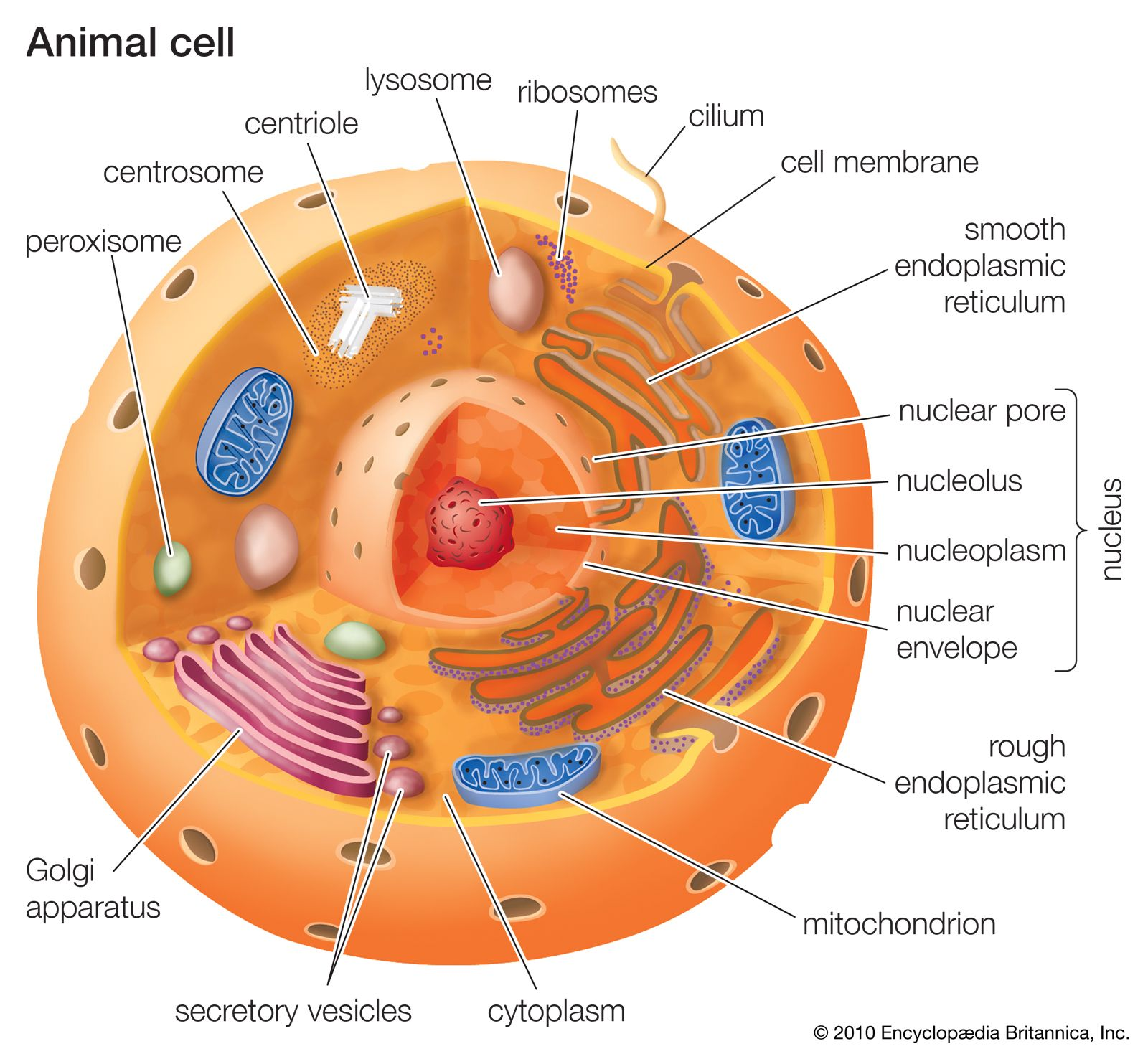 Animal Cell | Biology Pictures: Animal Cell Diagram | Homeschool ...