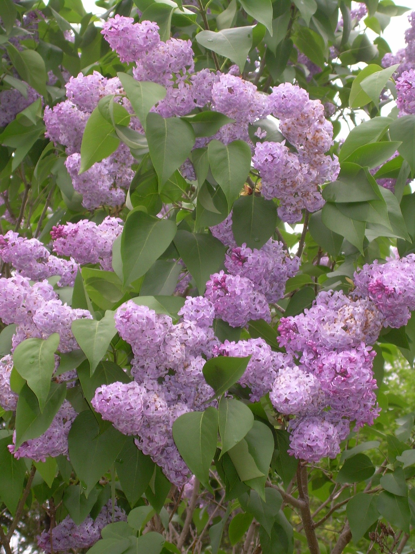 Since there were other lilac bushes on the property, nobody thought to get a slip of it to start it somewhere else, so the bulldozer shoved the bush over the hill and covered it with rocks and dirt. Description from appalachianlifestyles.blogspot.com. I searched for this on bing.com/images
