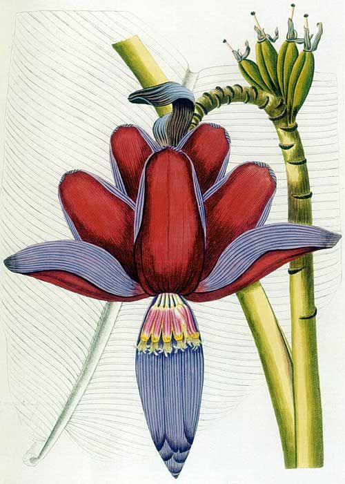 This illustration of Musa balbisiana, a type of wild banana, appeared in Nikolaus von Jacquin's Icones plantarum rariorum, which was published between 1781 and 1793.