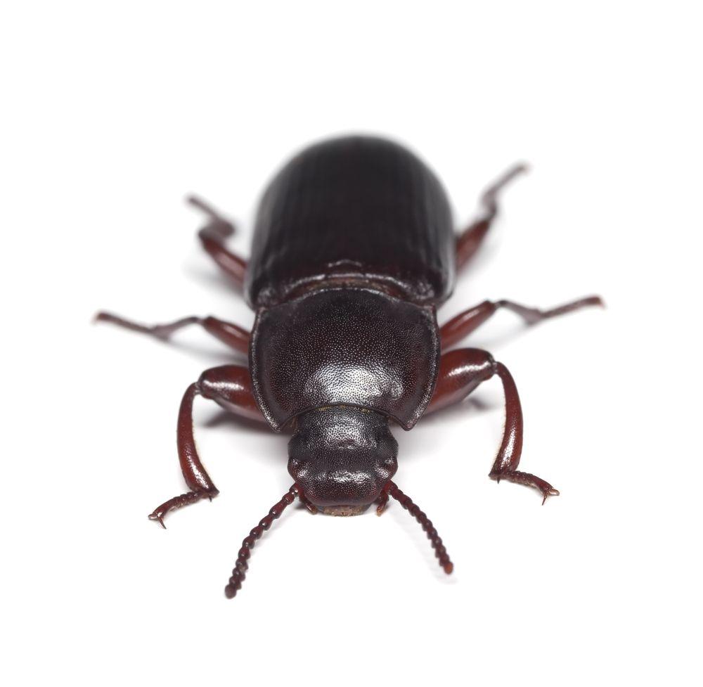 Confused Flour Beetle | Bill Clark Pest Control of Southeast Texas ...