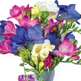 Cool Breeze Freesia Blend Michigan Bulb Company Bulb Flowers Freesia Flowers