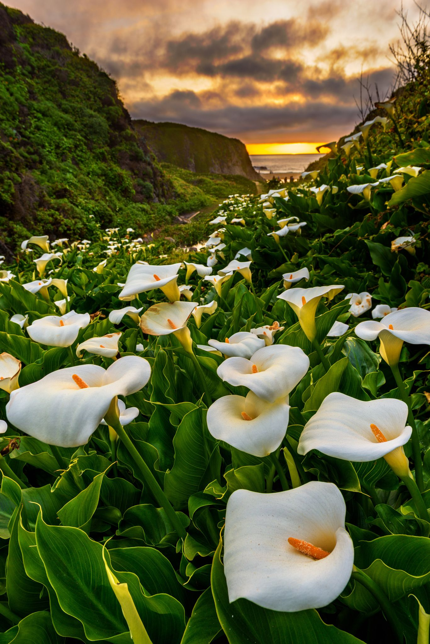 Sunset at Calla Lily Valley | Calla lily, Lilly plants, Beautiful nature