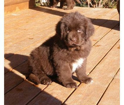 Brown Newfoundland Puppies Google Dog I Want Pets Pinterest