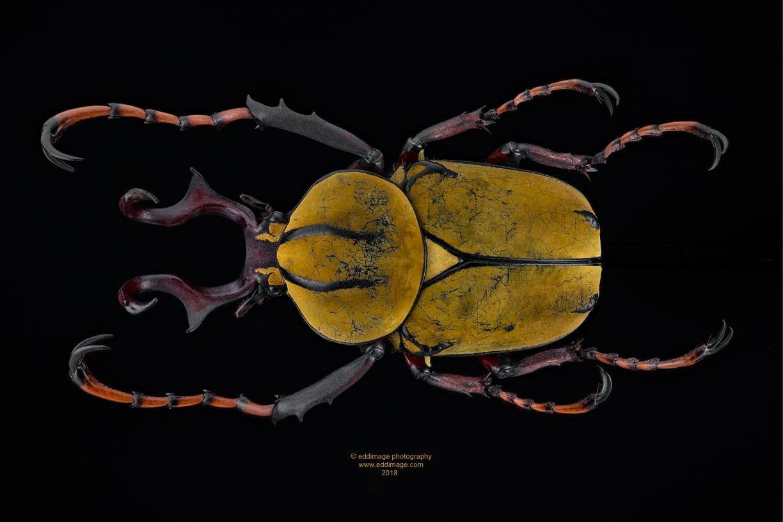 Pin De Wendy Sua En Coleopteros Coleopteros Insectos Entomologia
