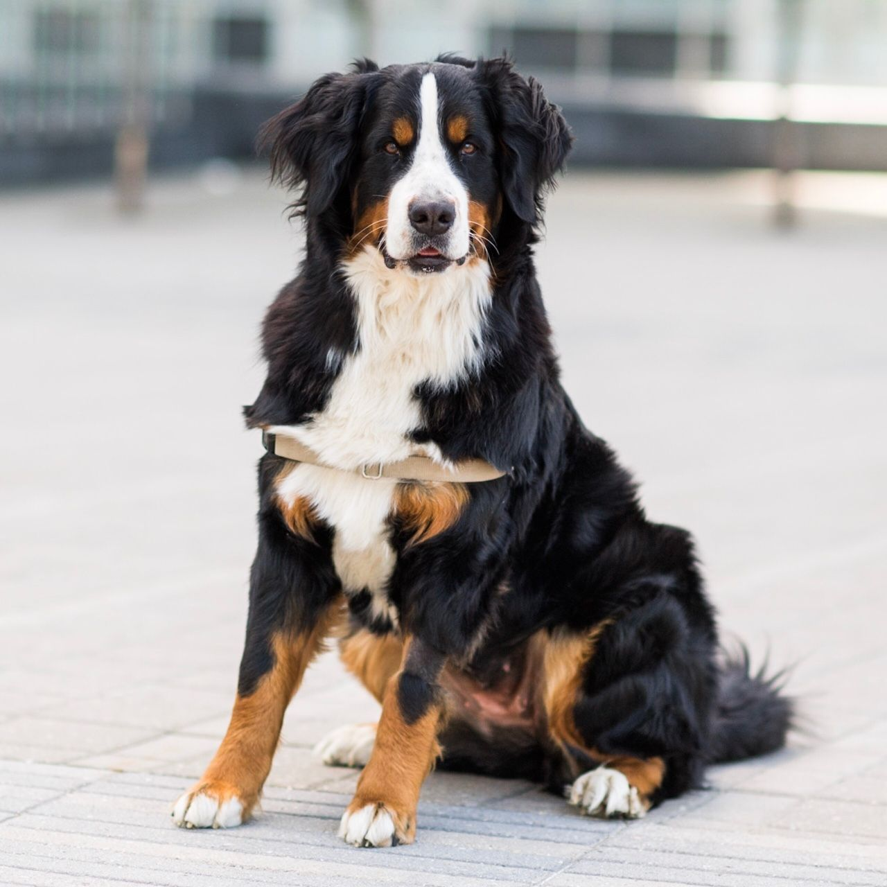 The Dogist — Shea, Bernese Mountain Dog (1 y/o), North 5th Pier...
