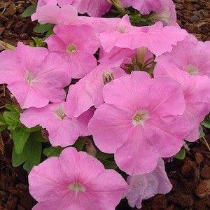 40 graines PETUNIA-Mambo Sweet Pink