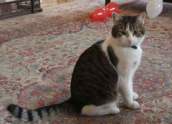 Famous London Cats. Larry The Cat Chief Mouser to the