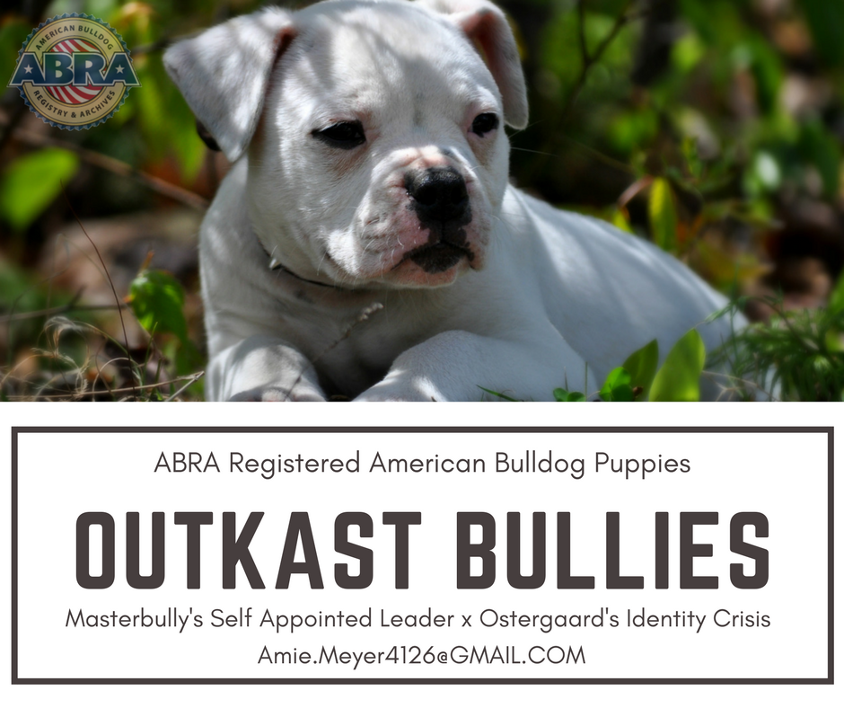American Bulldog Puppies For Sale Abra American Bulldog Registry Archives In 2020 American Bulldog Puppies American Bulldog Puppies For Sale