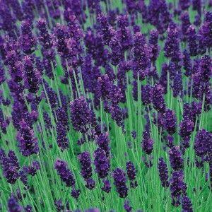 Hidcote Blue (English Lavender) one of my favorites!!!