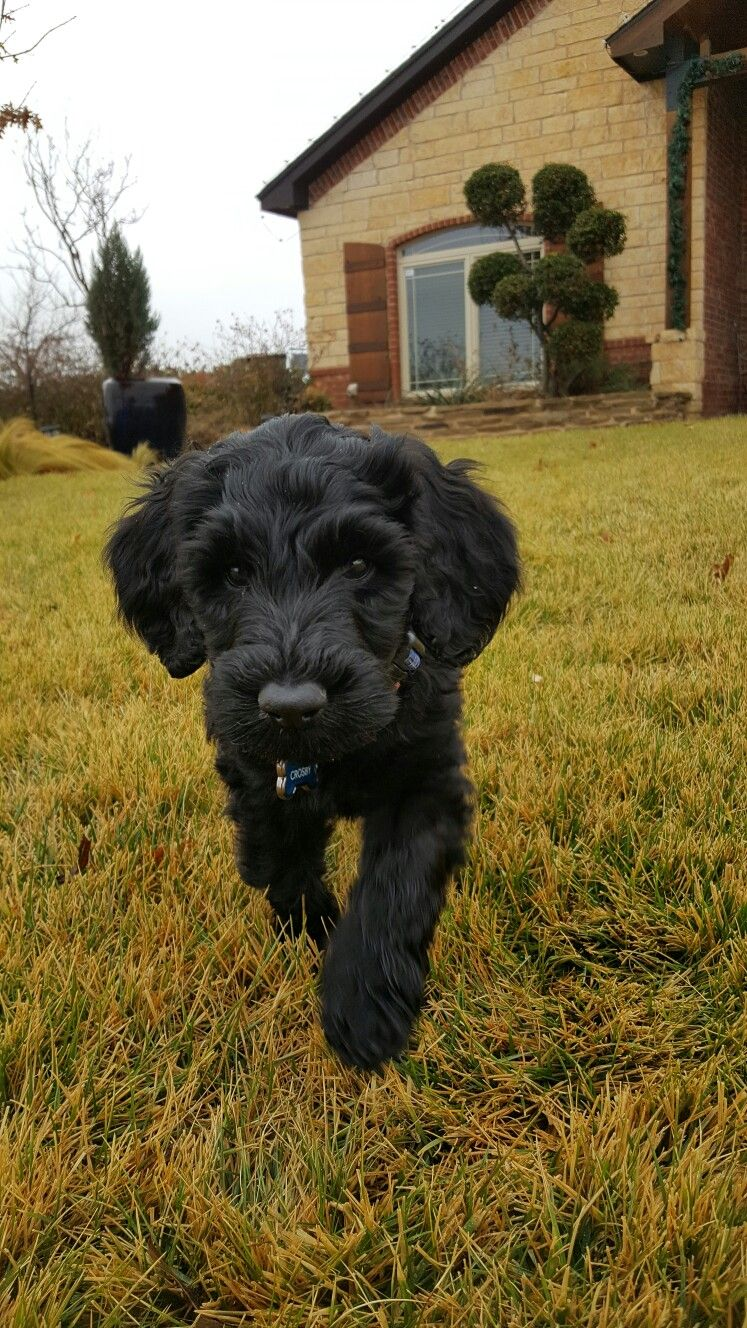 Giant Schnauzer Standard Poodle Giant Schnoodle 8 Weeks Crosby