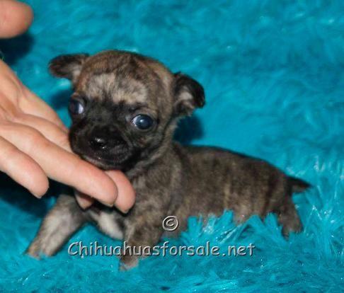 My White Chihuahua Had A Brindle Chihuahua I Love Him I Wish I