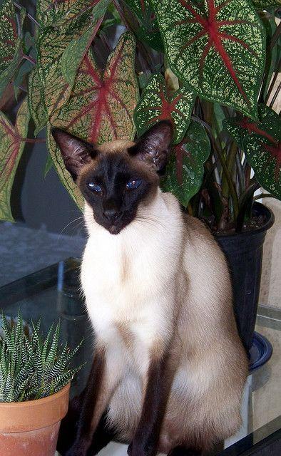 Alexandra Siamese Cats Pretty Cats Siamese Kittens