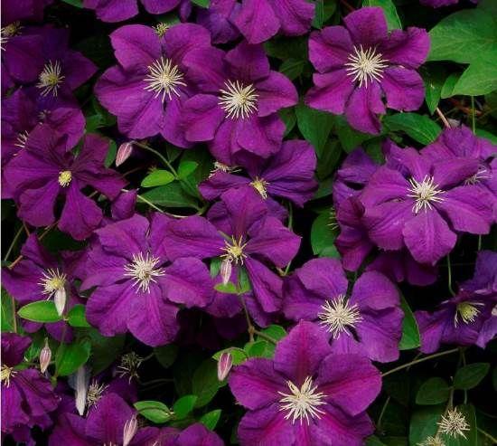 Klematis Cvece Orezivanje Cveće Plants Garden