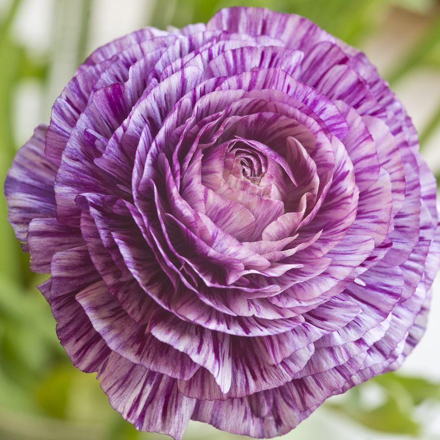 Ranunculus Flowers Ranunculus Flowers Pretty Flowers