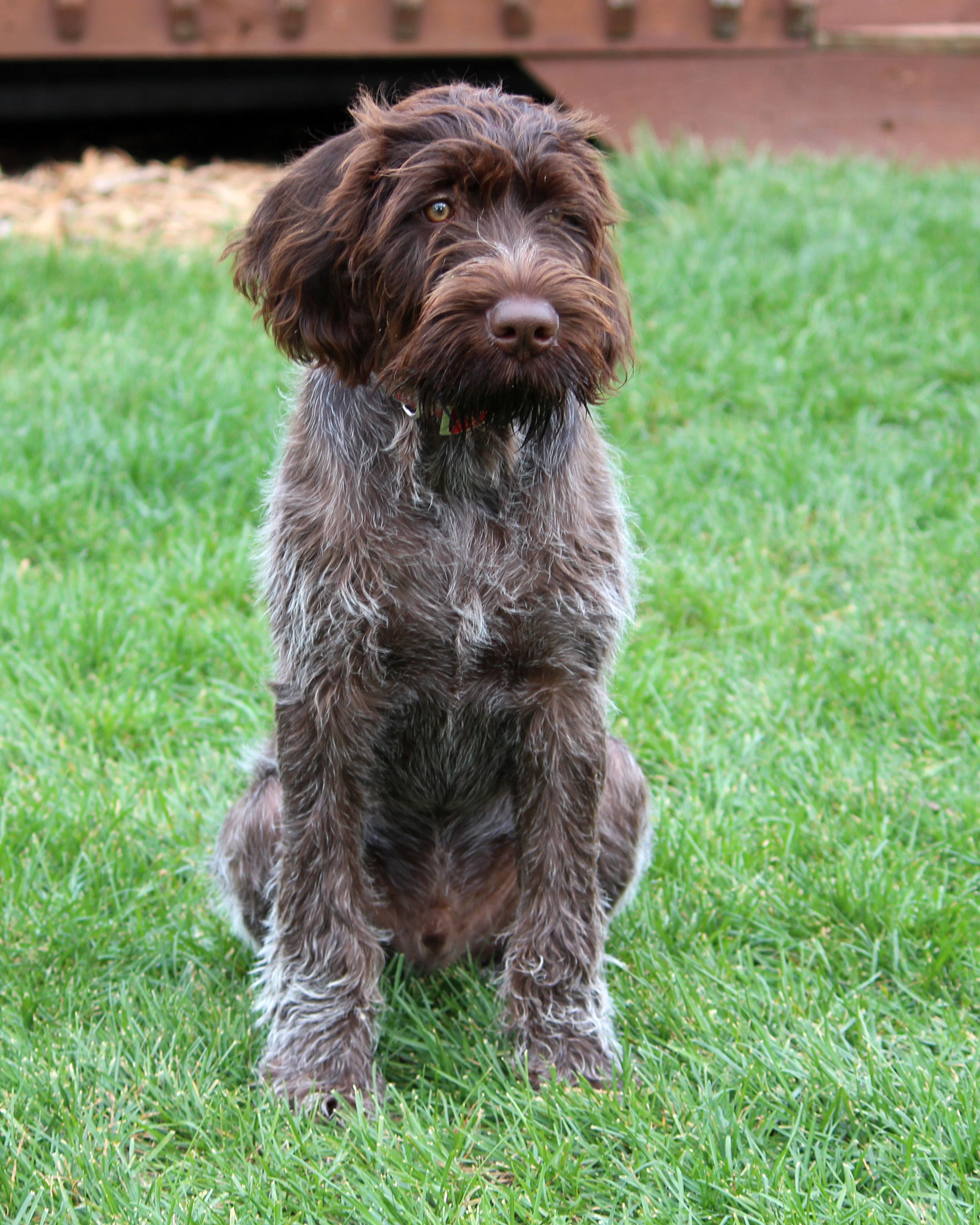 german wirehaired pointer | Sitting German Wirehaired Pointer dog ...
