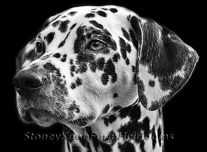 Dalmation Head Study ~ Dogs ~ Counted Cross Stitch Pattern #StoneyKnobFarmHeirlooms #CountedCrossStitch