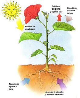 Blog De Los Ninos La Fotosintesis De Las Plantas Fotosintesis De Las Plantas Aprendiendo Sobre Las Plantas Imagenes De La Fotosintesis