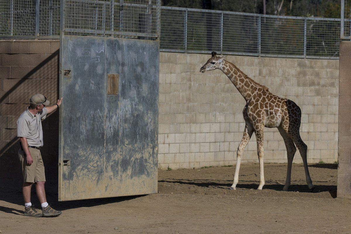 A 3-month-old Ugandan giraffe, Leroy, is let into the East Africa exhibit at the San Diego Zoo Safari Park by lead keeper Peter Jones