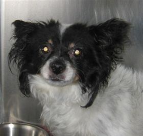 Chuck, Papillon Mix, 4 years, Male  - Find me on pawschicago.org!