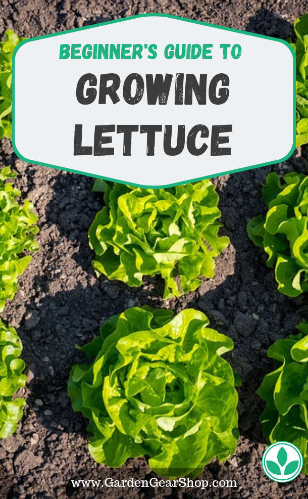 Growing Lettuce Beginner S Guide Gardengearshop Lettuce