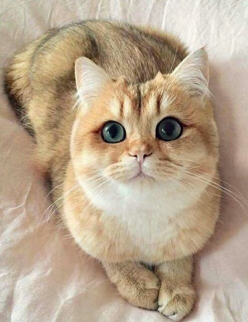 Blue Eyed Beauty From Boise Idaho Ccp Cute Animals Cute Cats Beautiful Cats