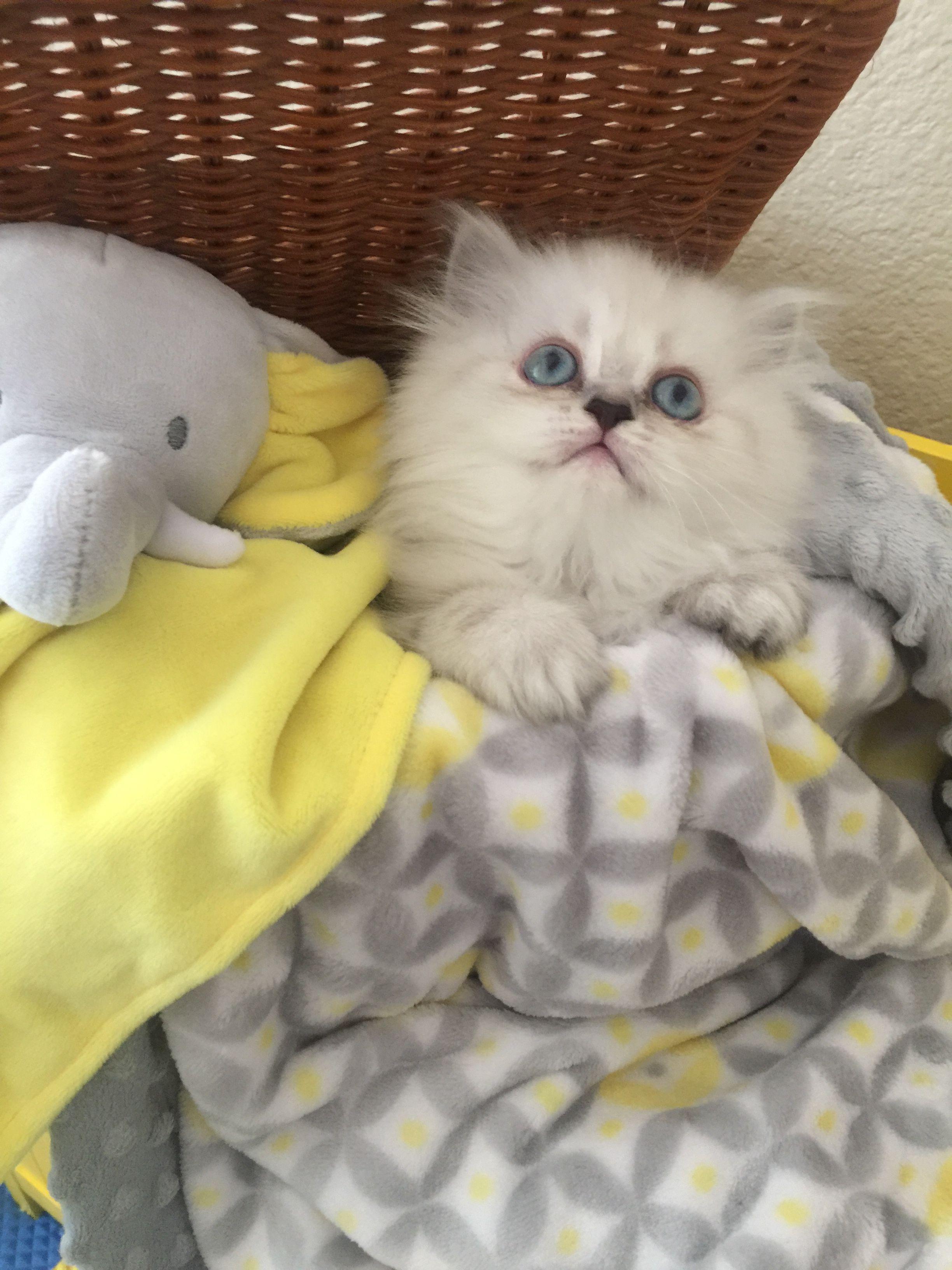 Blue Lynx Point Himilayan Persian Kitten Persian Kittens For Sale Persian Kittens Kittens