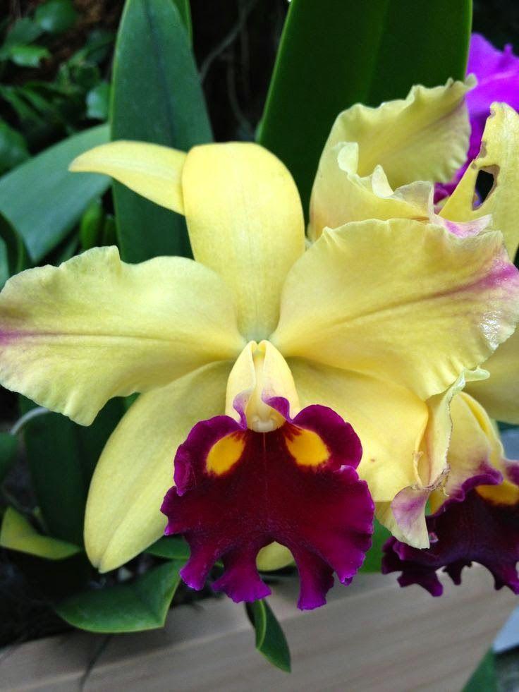 Beautiful Orchid Looks Like A Cattleya Beautiful Orchids Orchid Flower Cattleya Orchid