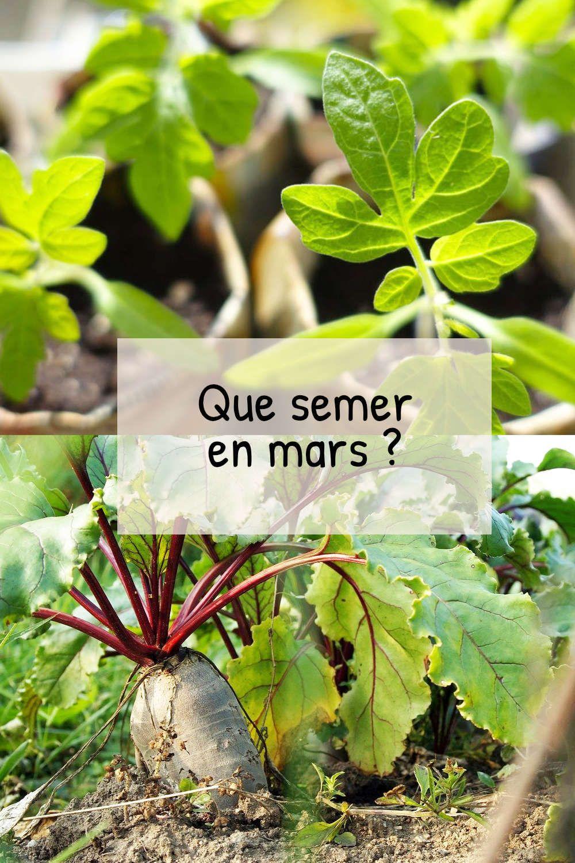 Oignon Blanc A Planter que semer en mars au potager ? | potager, planter des
