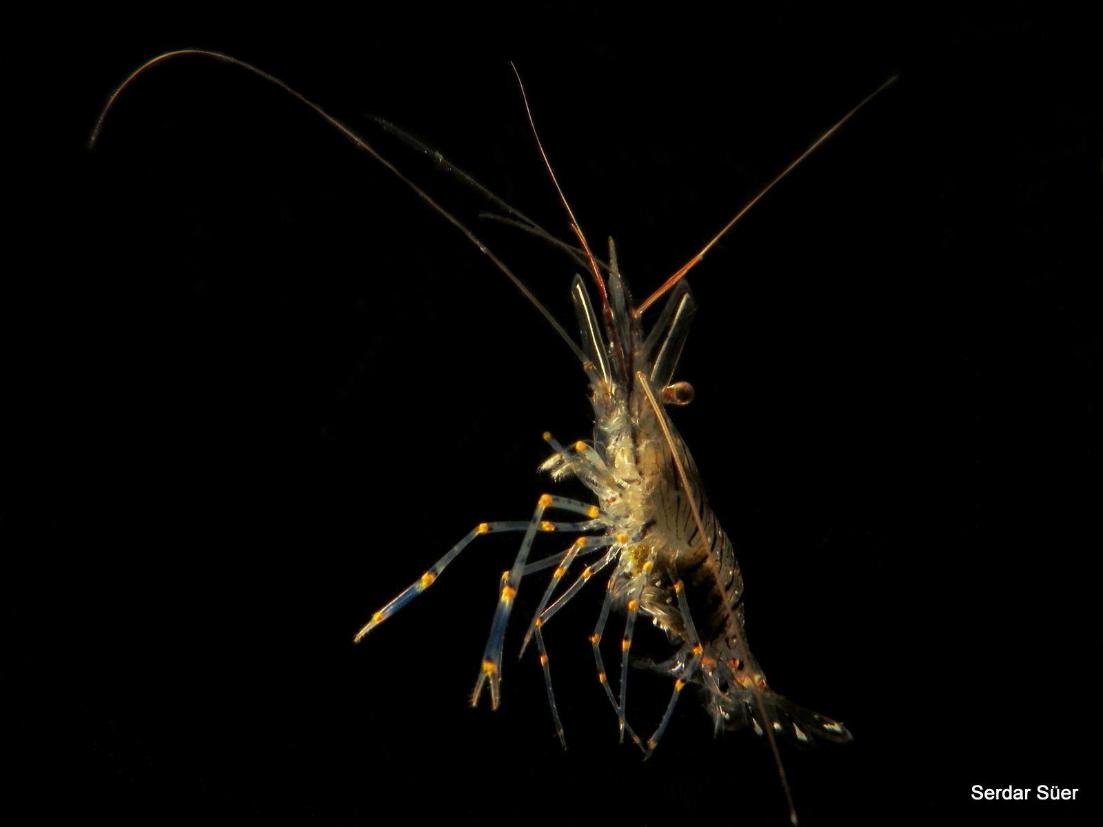 Shrimp/Mudanya/free dive