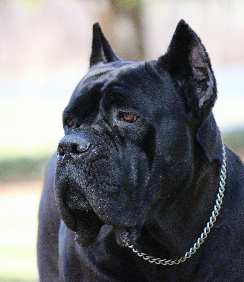 Black Pearl Cane Corso Cane Corso Breeders Cane Corso Puppies