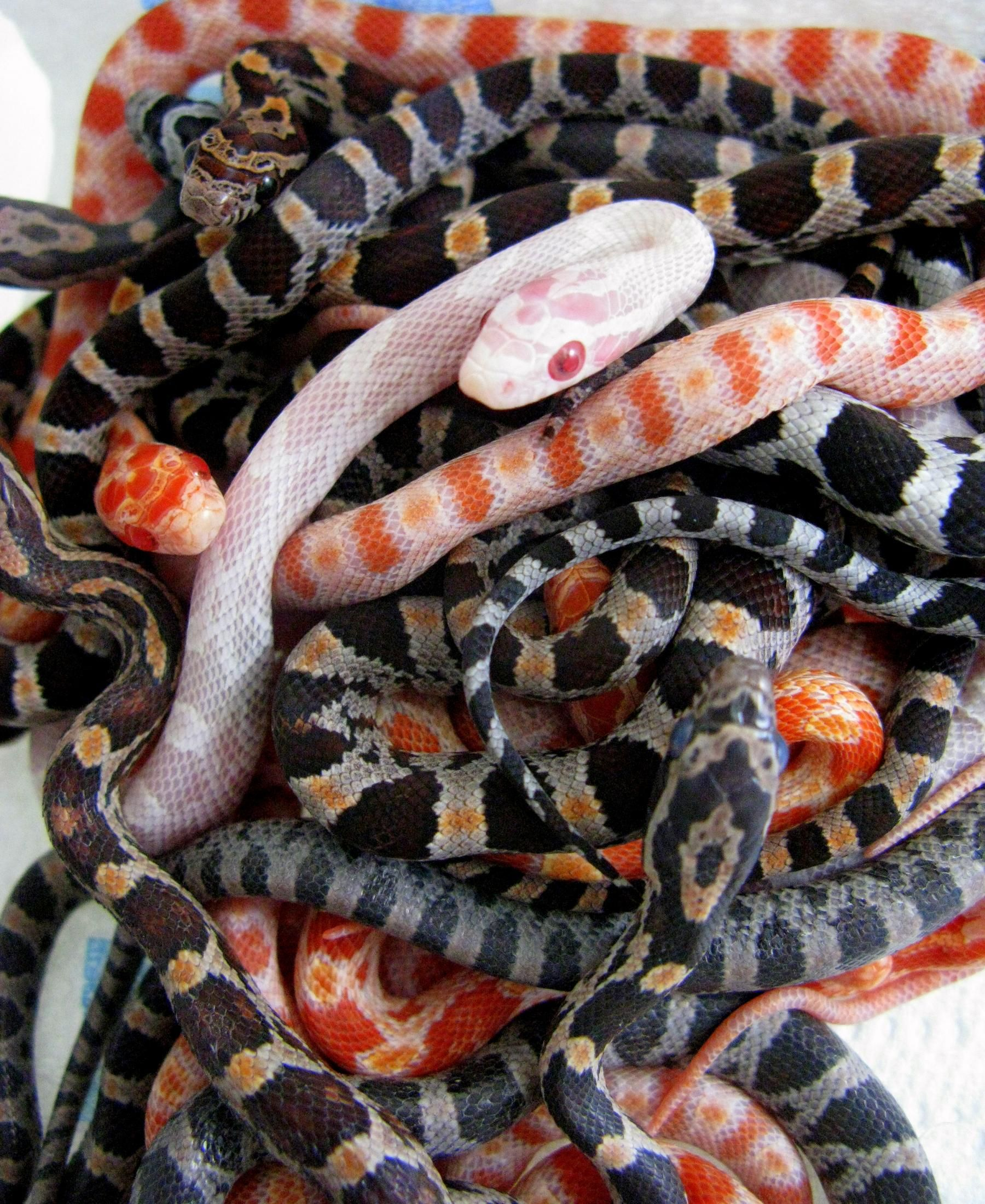 The Best Pet Snake For A Beginner Corn Snake Pet Snake Snake