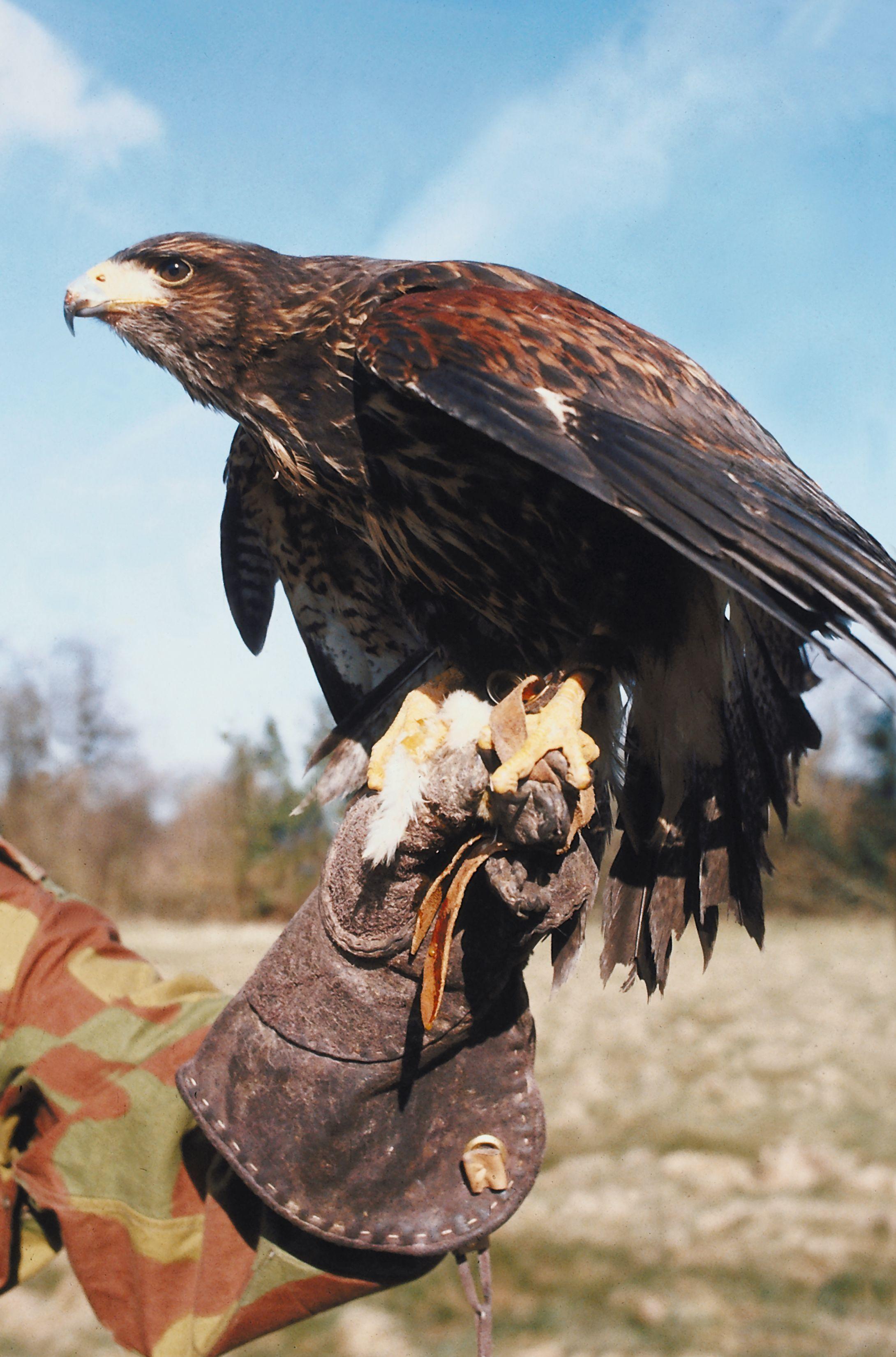 How To Make A Falconry Glove Falconry Glove Falconry Bald Eagle