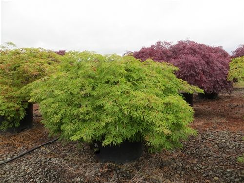 Weeping Green Cascade Japanese Maple Tree Is About 20 Years Old