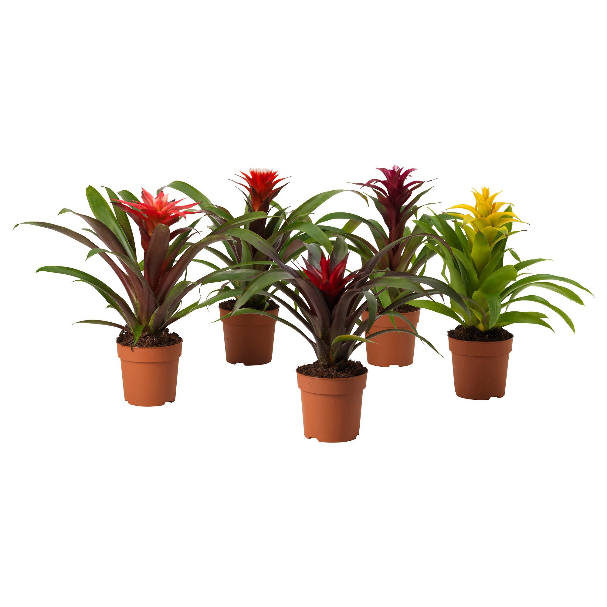 guzmania pflanze ikea flowers plants pinterest. Black Bedroom Furniture Sets. Home Design Ideas