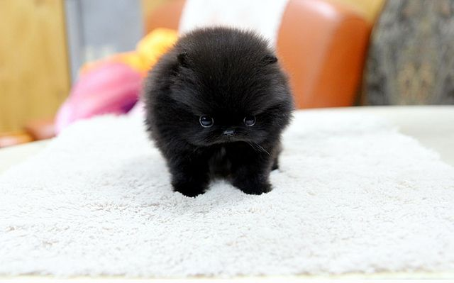 High Quality Teacup Black Pomeranian Puppy Pomeranian Puppy Teacup Pomeranian Puppy Black Pomeranian Puppies