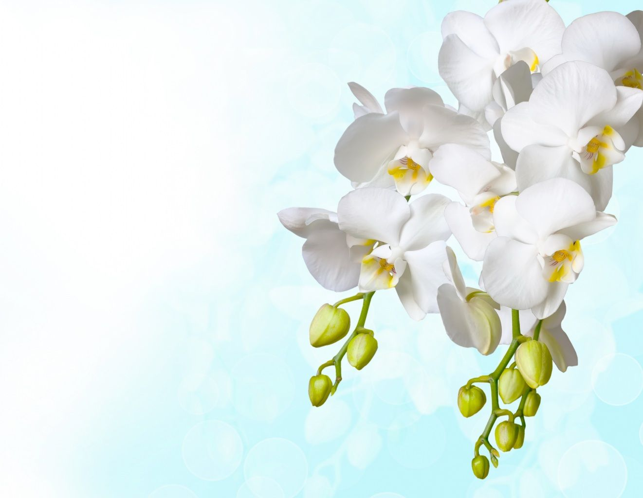 Wallpapers Orchid White Flower Bud Flowers Image 373042 Download Orchid Flower Flower Images Flower Bud