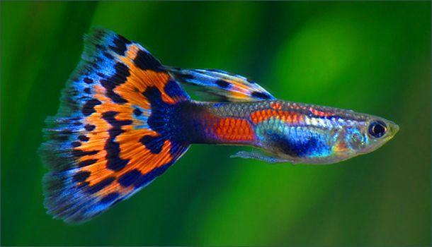 Fancy Guppy Guppy Fish Aquarium Fish Tropical Fish Tanks