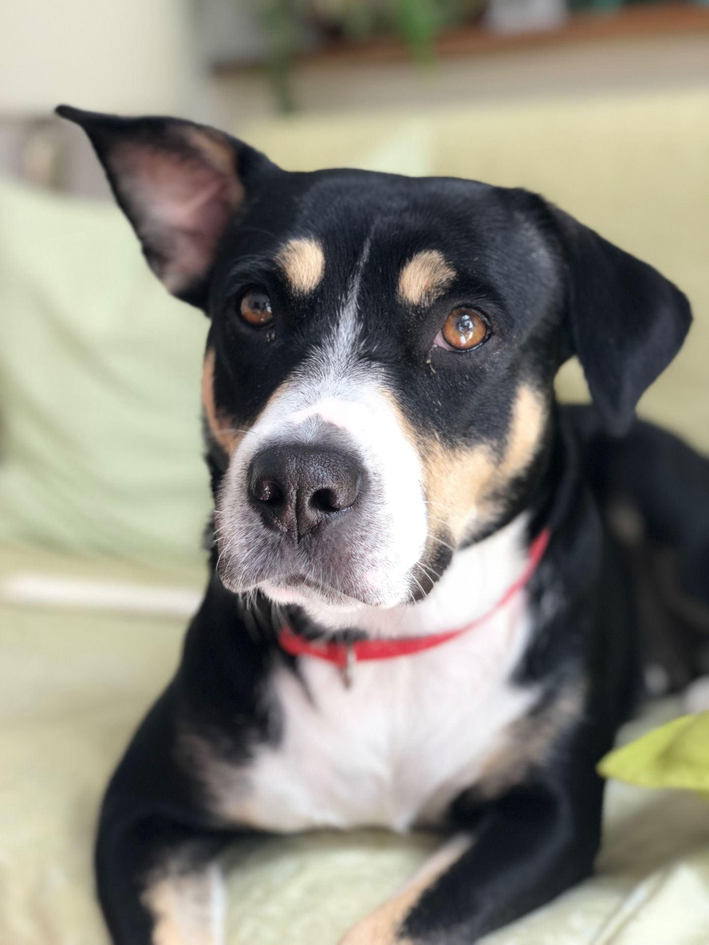 Adopt Daisy on Animal rescue, Terrier mix, Dogs