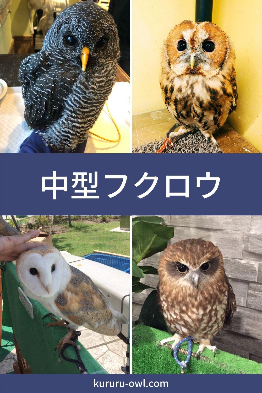 中型フクロウの種類一覧 フクロウ フクロウ ミミズク モリフクロウ
