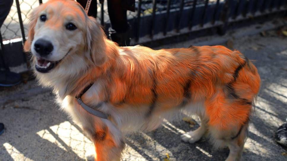 Spraytanned / SPRAYMALT: Hva hunden skal forestille er uvisst, men den er spraymalt for anledningen.Foto: Timothy A. Clary / AFP