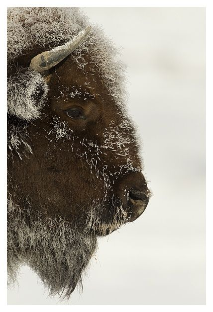 Bison...I don't know why, but I love this picture!